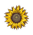 yellow sunflower wildflower sun shaped sunny vector image vector image