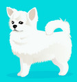 chihuahua dog white vector image vector image