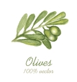 Watercolor painted olive tree branch vector image vector image