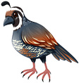 Quail standing on white background vector image vector image