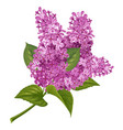 branch of lilac vector image vector image