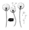 dandelion flower drawing set isolated wild vector image vector image