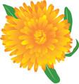 marigold flower vector image