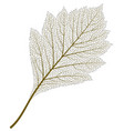 image of skeleton aspen leaf vector image vector image