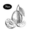 hand drawn sketch style fresh plum vector image vector image