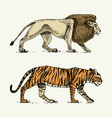 wild cats set lion and tiger engraved hand drawn vector image vector image
