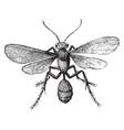 mud wasp vintage vector image vector image