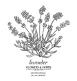 lavender vector image