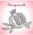 highly detailed hand drawn pomegranate vector image