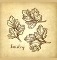 parsley ink sketch vector image vector image