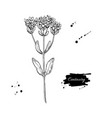 Centaury drawing hand drawn herb sketch vector image