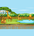 scene with many giraffes at zoo vector image vector image