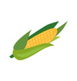 flat corncob or corn ear icon vector image