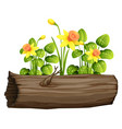 yellow daffodil flowers and log on white vector image