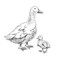 hand drawn domestick duck and duckling vector image vector image