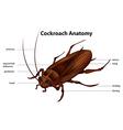 Cockroach Anatomy vector image vector image