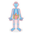 skeleton and organs vector image
