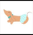 Purebred brown dachshund dog wearing skirt