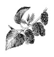 hand drawn mulberry branch vector image vector image