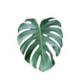 realistic green tropical monstera leave from top vector image