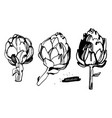 artichokes hand drawn vector image