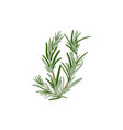 fresh green sprigs of rosemary on a white vector image vector image