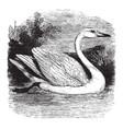 mute swan vintage vector image vector image