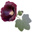 Claret mallow flower alcea bud and leaf vector image