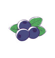 black currant isolated icon vector image vector image