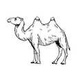 camel engraving vector image