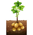 Potatoes plant under the ground vector image vector image