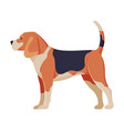 beagle purebred dog pet animal side view vector image vector image