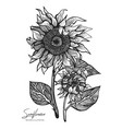 engraved sunflower isolated on vector image vector image