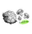 ink sketch cauliflower vector image