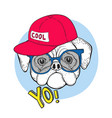 dog pug in blue sunglasses and a red cap with the vector image vector image
