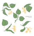 beautiful detailed botanical drawings of linden vector image vector image