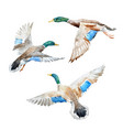 set with watercolor ducks vector image vector image
