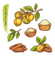 sketch shea nut and butter branch with leaf vector image