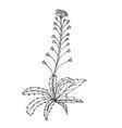 doodle shepherds purse medicinal plant vector image