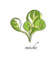 mache fresh culinary plant green seasoning vector image vector image