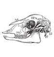 sheep skull vintage vector image vector image