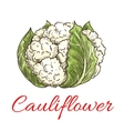 Cauliflower vegetable icon vector image