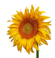 Beautiful Sunflower vector image