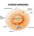 steroid hormones vector image vector image
