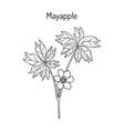 mayapple ilex purpurea or wild mandrake ground vector image vector image