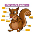 Diagram showing different parts of squirrel vector image vector image