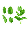 mint leaves menthol spearmint fresh smell nature vector image