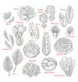 sketch icons of salad leafy vegetables vector image vector image
