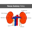 Human Kidney detailed anatomy Medical vector image