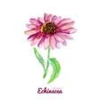 watercolor medicinal flower echinacea vector image vector image